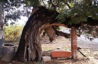 鹤壁动态:全市最古老的槐树在这里;花窝村将要用上天然气?